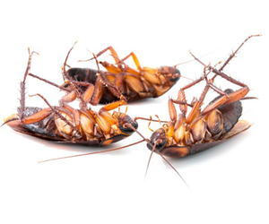 Cockroaches Pest Control In Gujarat